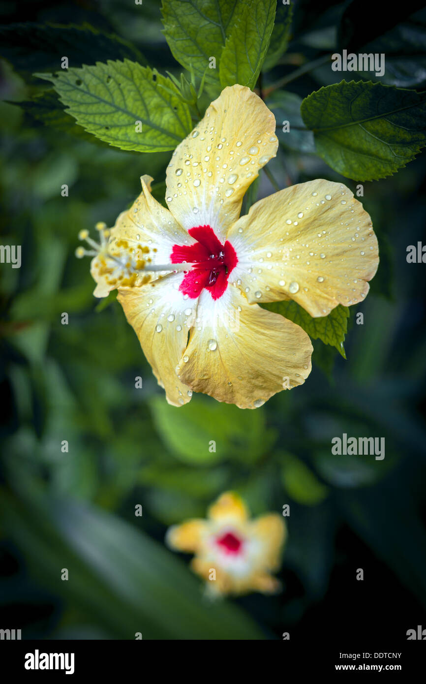 Polynesian yellow hibiscus flower in bloom with red center rain polynesian yellow hibiscus flower in bloom with red center rain drops on petals cook islands aitutaki island pacific ocean izmirmasajfo Gallery