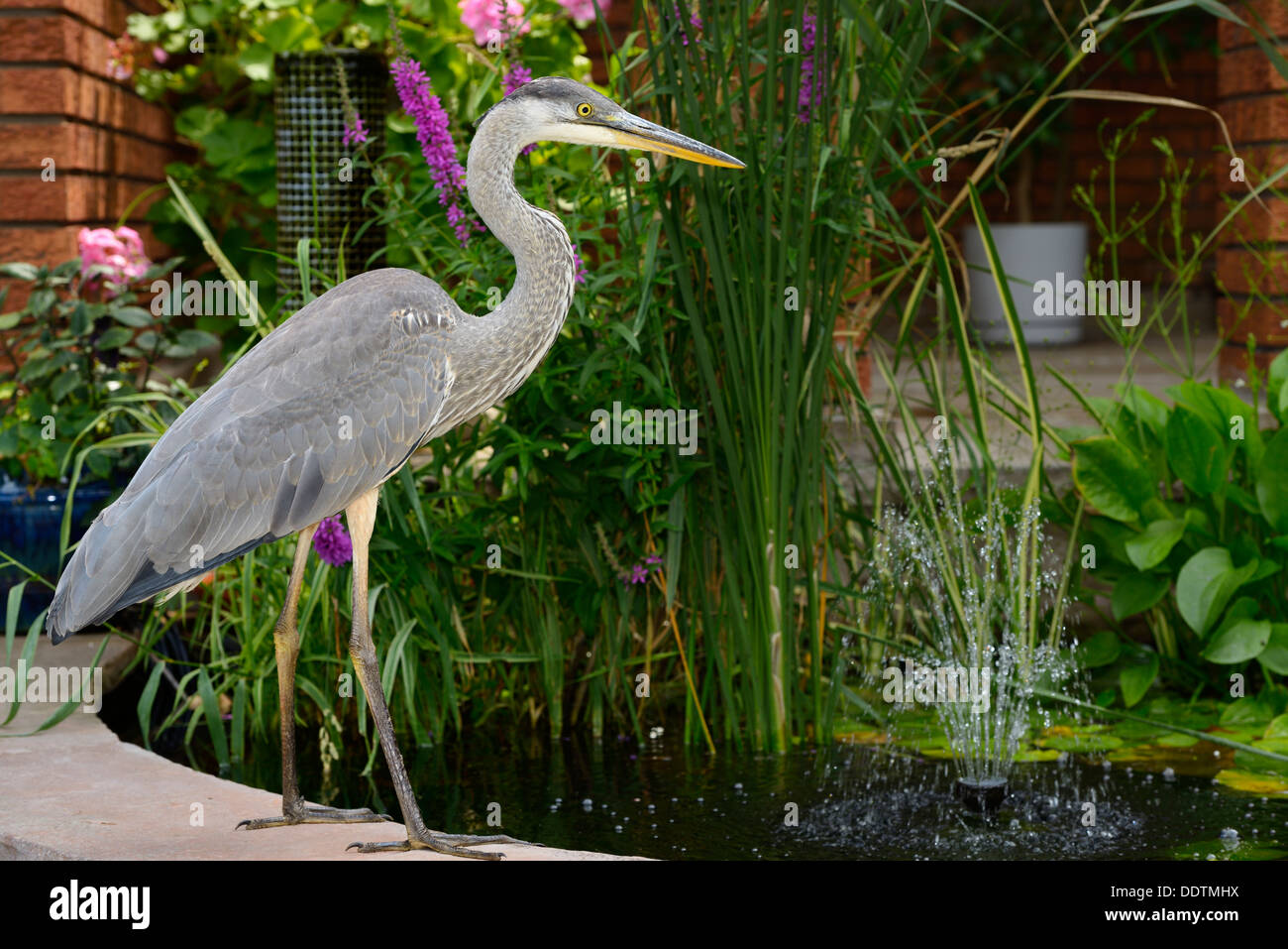 Great Blue Heron invading a decorative fish pond at the front of a house Toronto Stock Photo