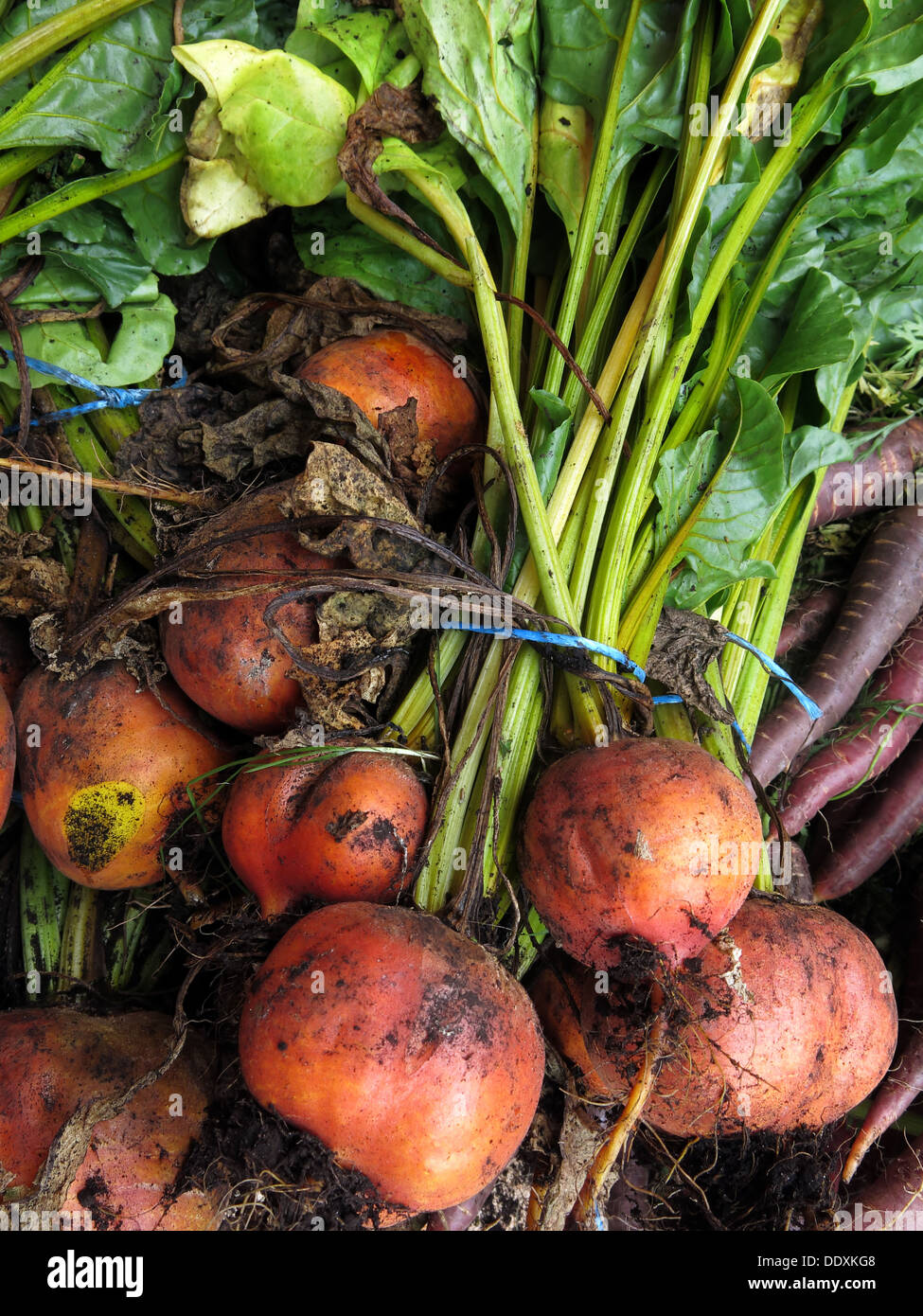 dirty,root,crop,veg,vegetable,mud,muddy,yellow,beetroot,Golden,Beet,Burpees,Golden,heirloom,yellow,root,for,sale,selling,sold,Cheshire,England,UK,English,British,GB,tied,plant,Beta,vulgaris,recipe,beets,UK,GB,British,English,Gold Beet,Yellow Beet,Beta vulgaris,Golden Beets,GoTonySmith,@HotpixUK,Buy Pictures of,Buy Images Of,Images of Goldbeet,Stock Images