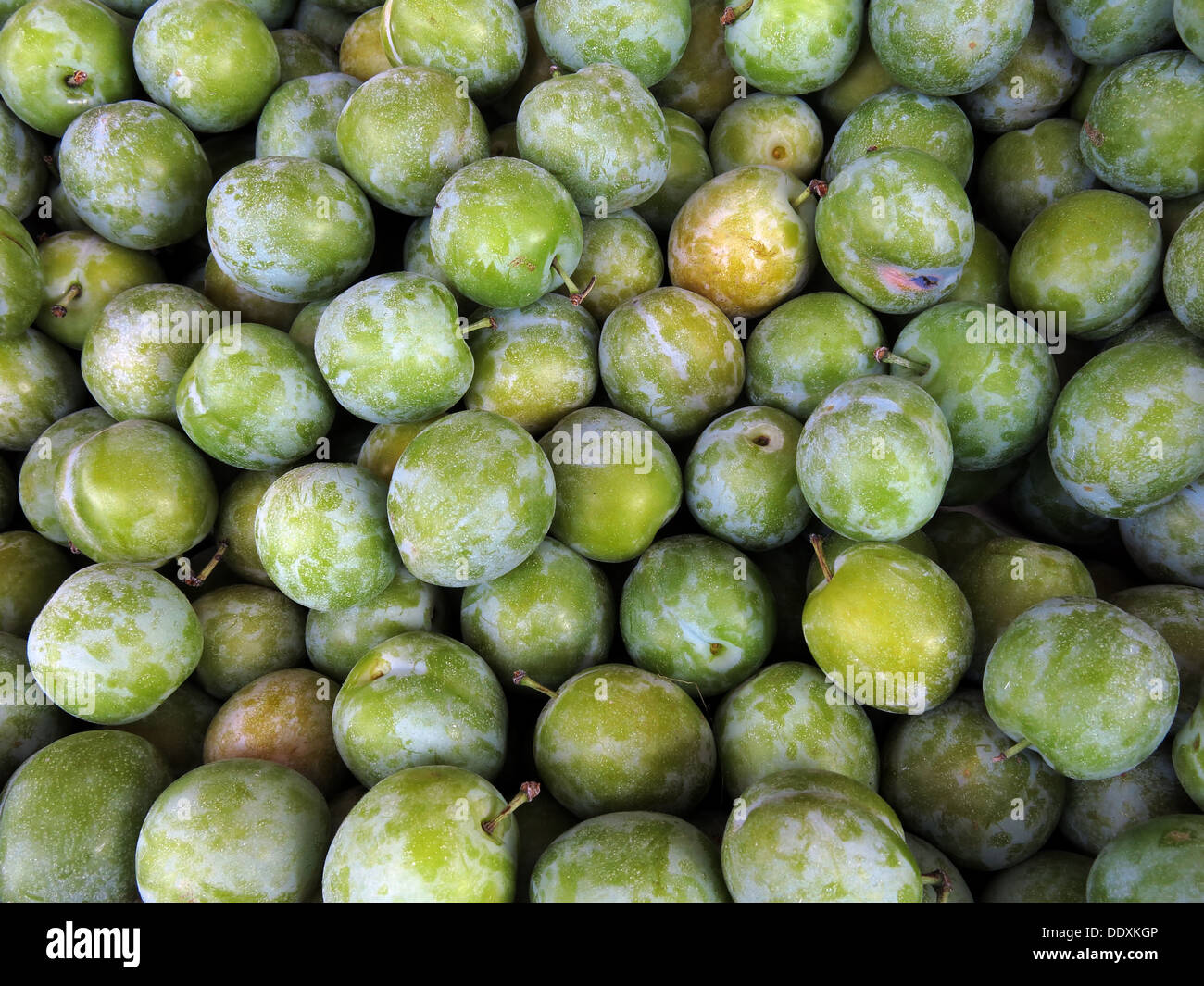 fruity,traditional,autumn,summer,English,British,dozens,hundreds,for,pie,deserts,desert,pies,common,European,plums,cultivar,Reine,Claude,Verte,varieties,Punze,rotunda,variety,gages,la,bonne,reine,Reneklode,or,Ringlotte,organic,gotonysmith,@hotpixuk,hotpixuk,five,a,day,5,5aday,fruit,Buy Pictures of,Buy Images Of,Low Fat Diet,Five A Day