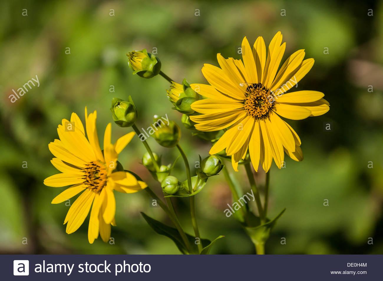 cup-plant-silphium-perfoliatum-in-high-p