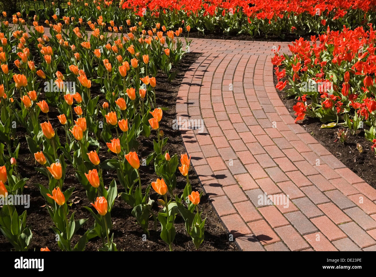 A curved brick garden path runs through the orange and red tulip ...