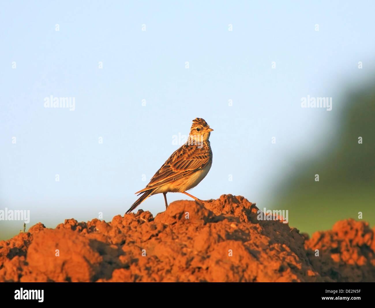 Eurasian Skylark (Alauda arvensis) - Stock Image