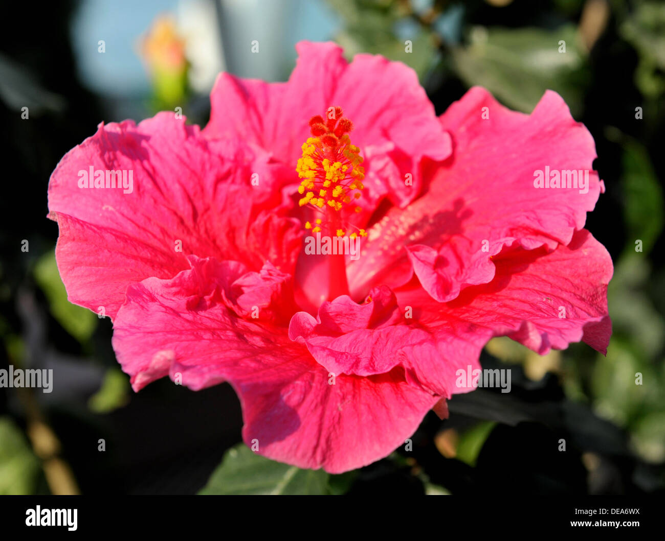 Chinese hibiscus flower gardens by the bay singapore stock photo chinese hibiscus flower gardens by the bay singapore izmirmasajfo Image collections