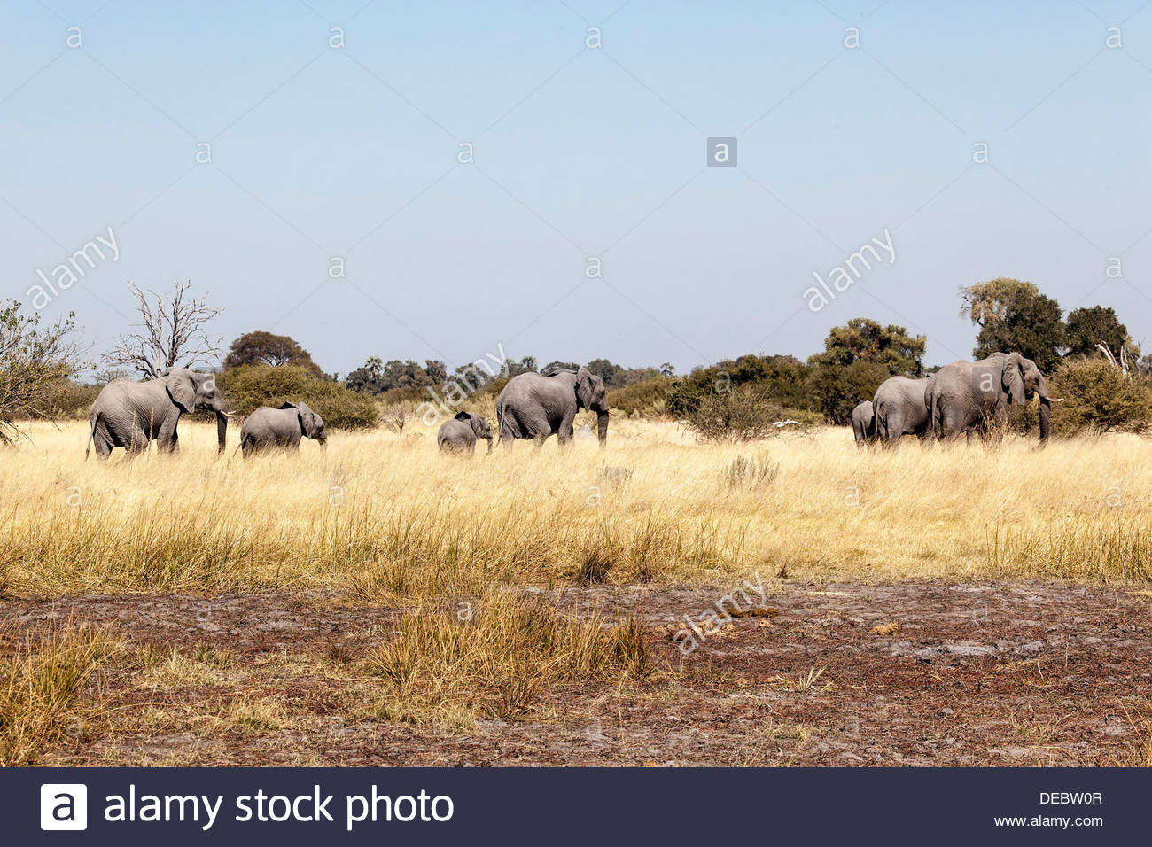 African elephant (Loxodonta africana) roam the savannah, Moremi Game Reserve, Botswana - Stock Image