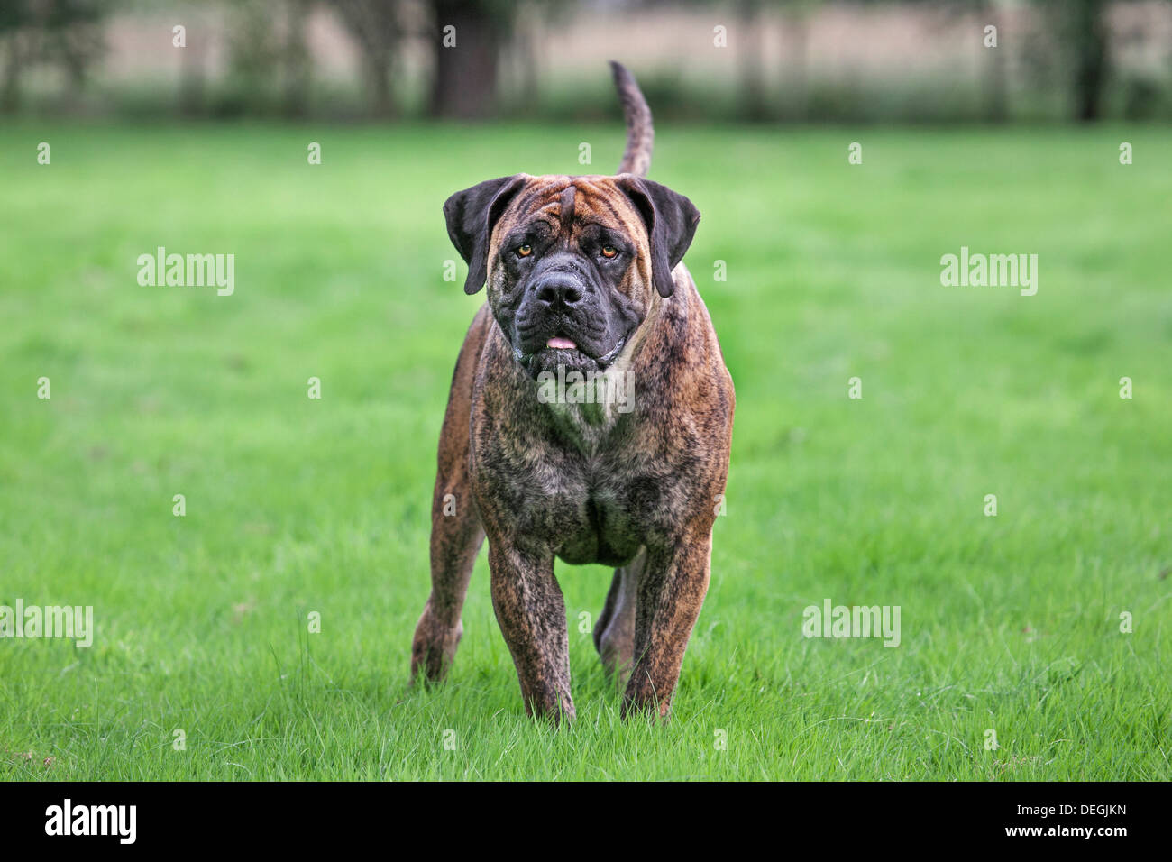 Boerboel, mastiff dog breed from South Africa in garden - Stock Image