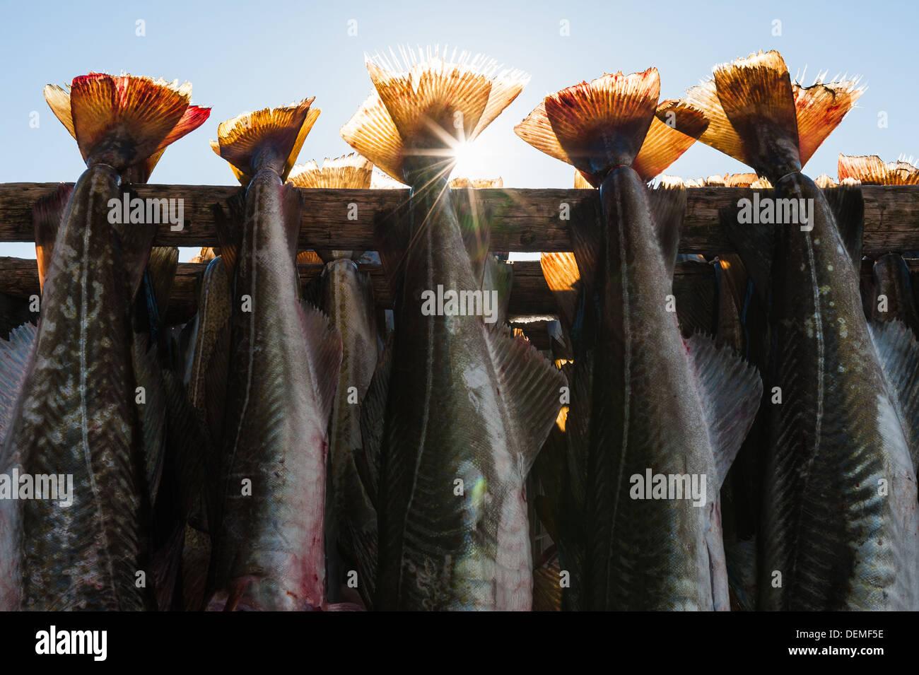 Sun shining through fish hanging up to dry, Norway. - Stock Image