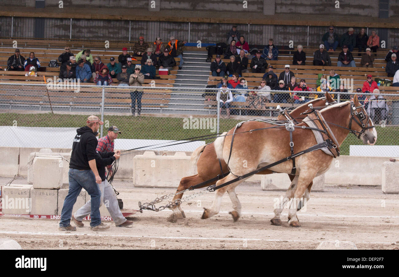 belgian-team-pulling-weight-load-in-heavy-horse-pull-competition-at-DEP2F7.jpg