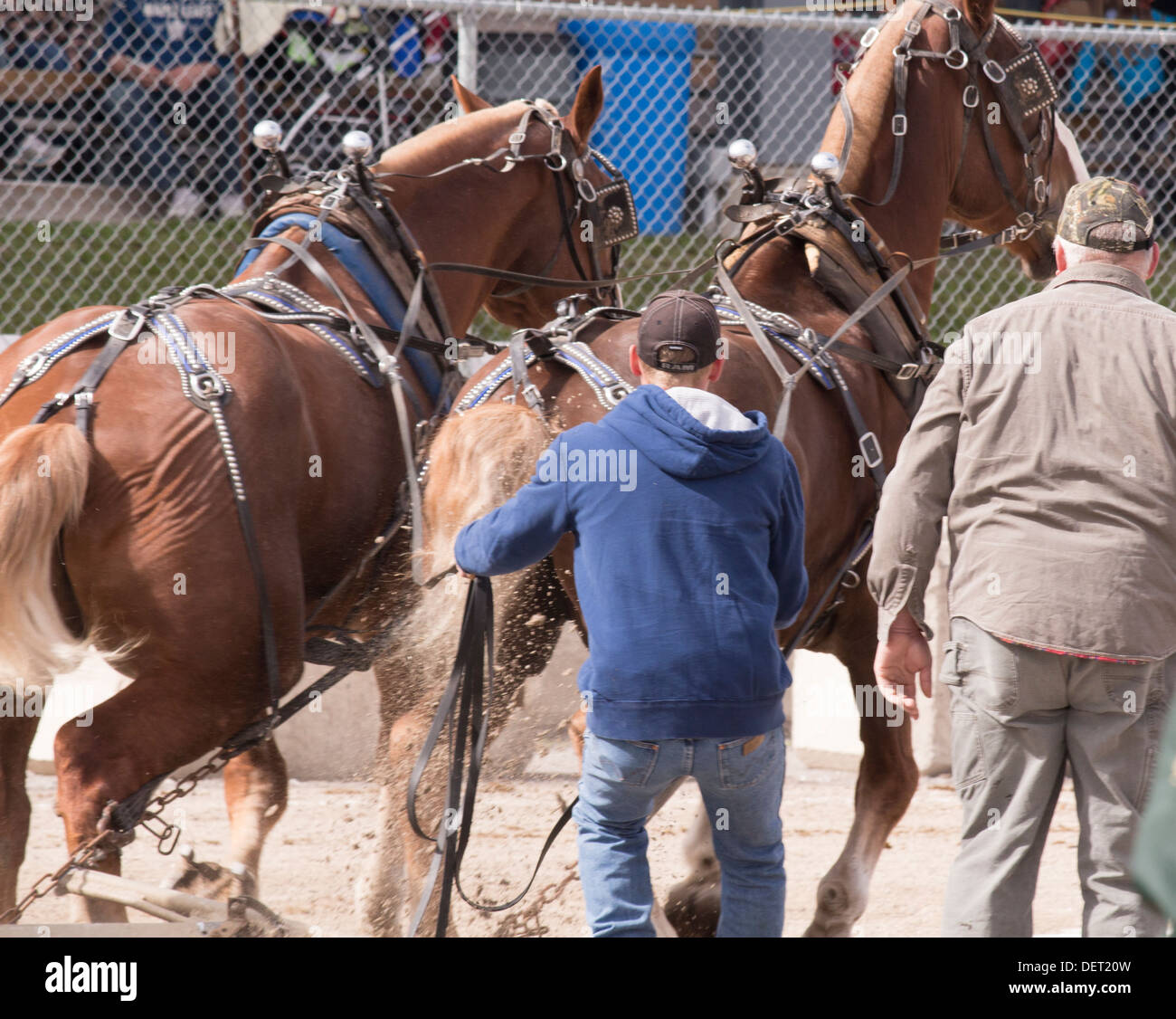 belgian-horse-team-pulling-load-in-horse-pull-competition-at-lindsay-DET20W.jpg