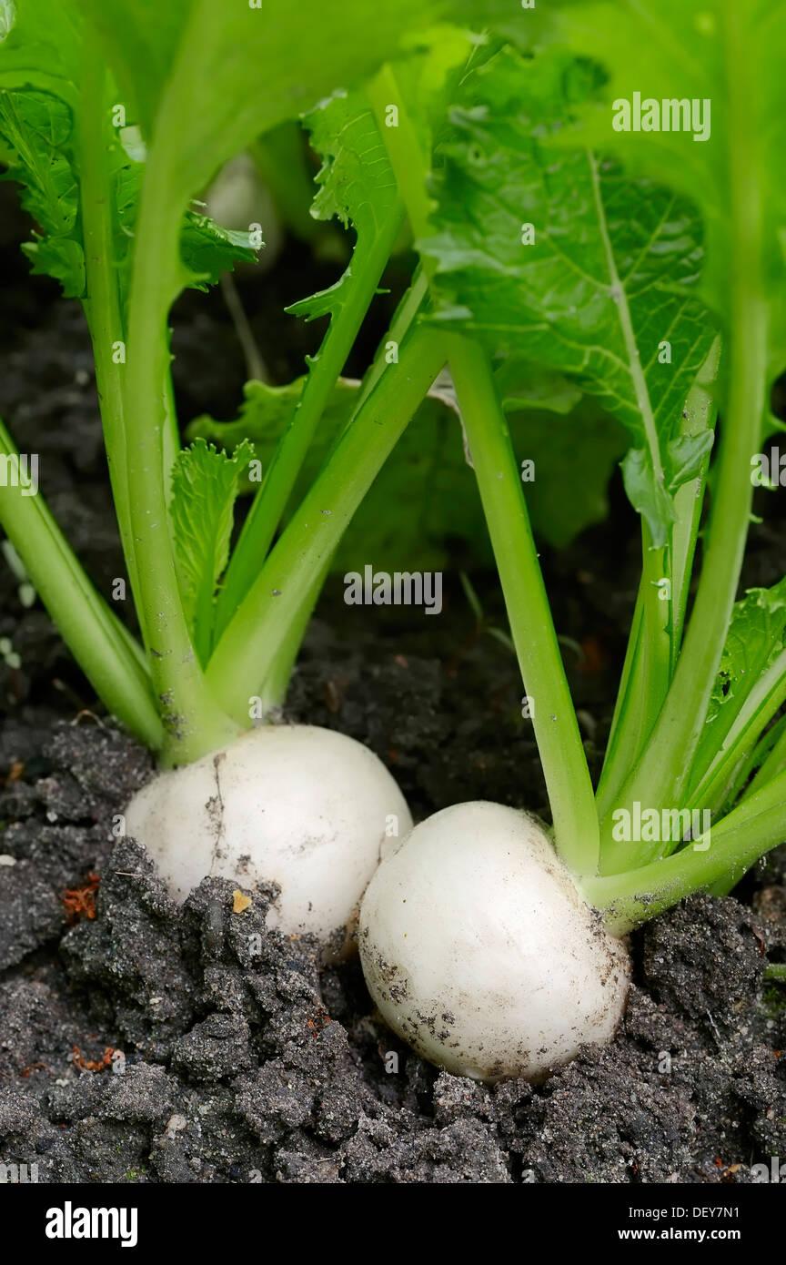 May Turnip or Navette (Brassica rapa ssp. rapa var. majalis), Bergkamen, North Rhine-Westphalia, Germany - Stock Image