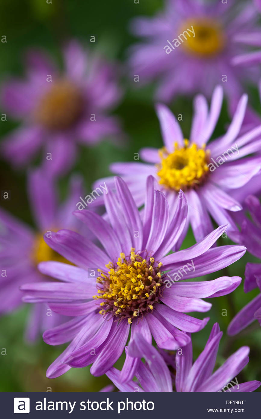 Italian Aster Amellus Brilliant Autumn Fall Flower Perennial Pink