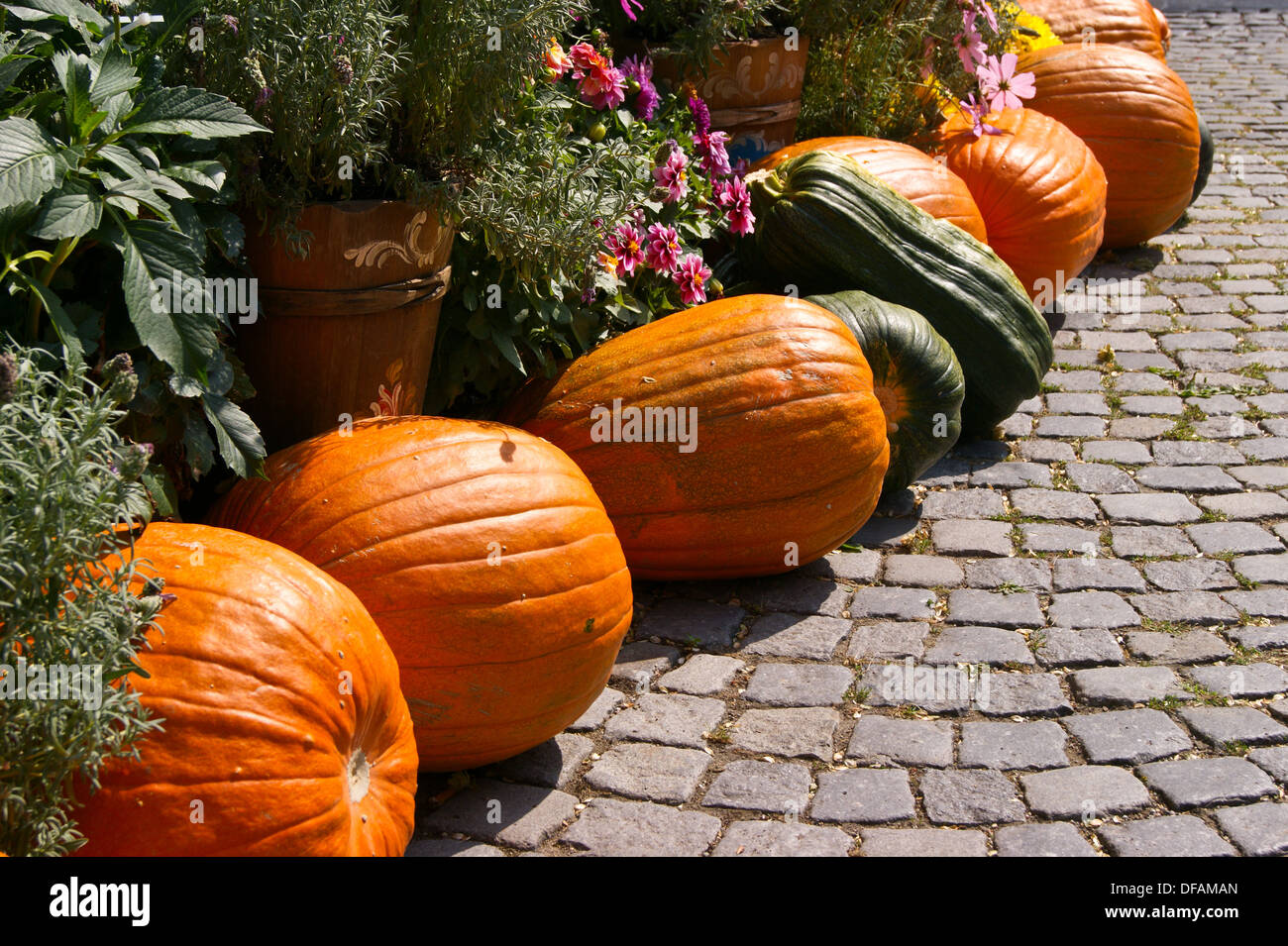 a-display-of-pumpkins-marrows-and-other-large-squashes-ulm-baden-wuerttemberg-DFAMAN.jpg
