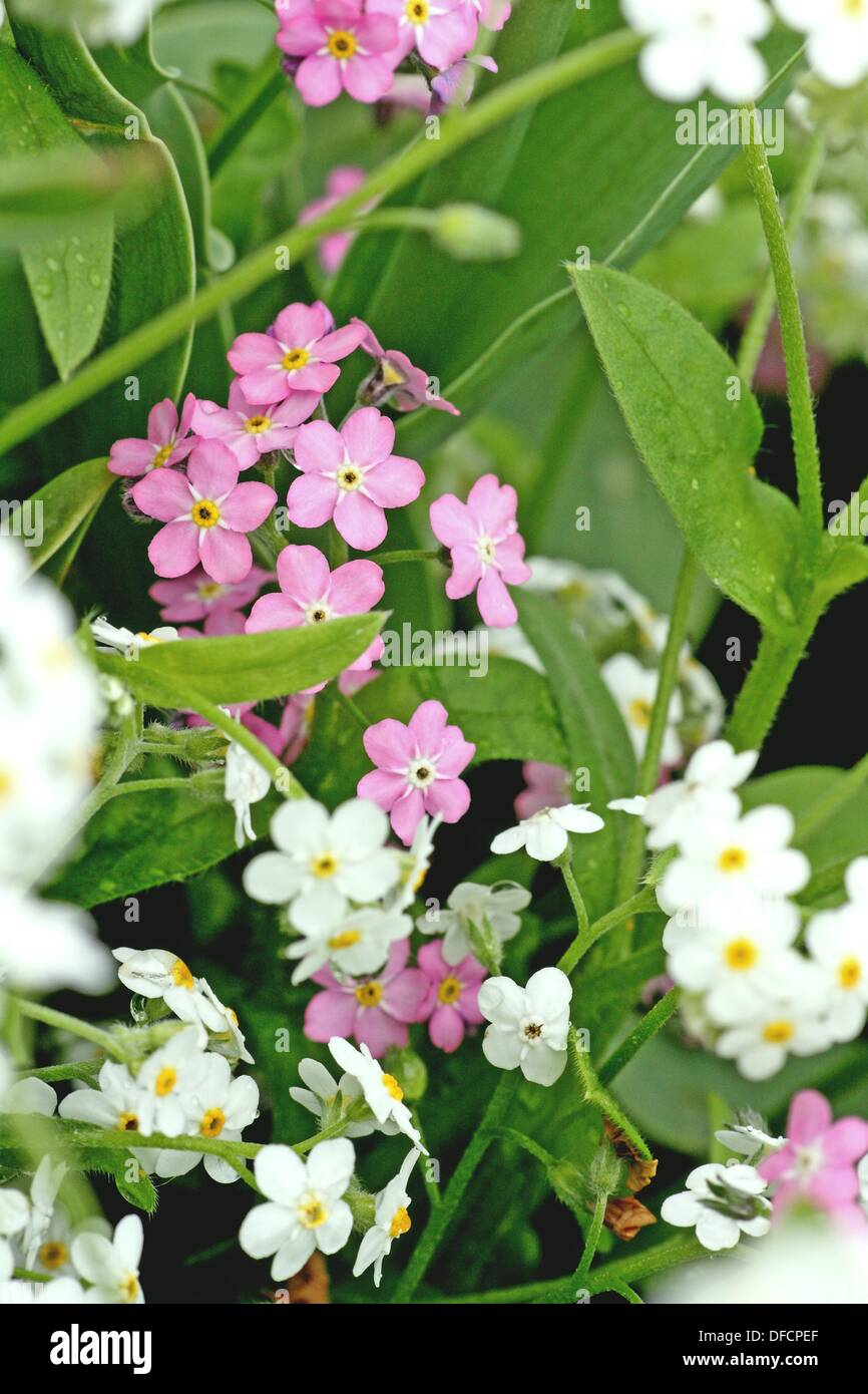 Pink And White Forget Me Not Myositis Delicate White Flower Of