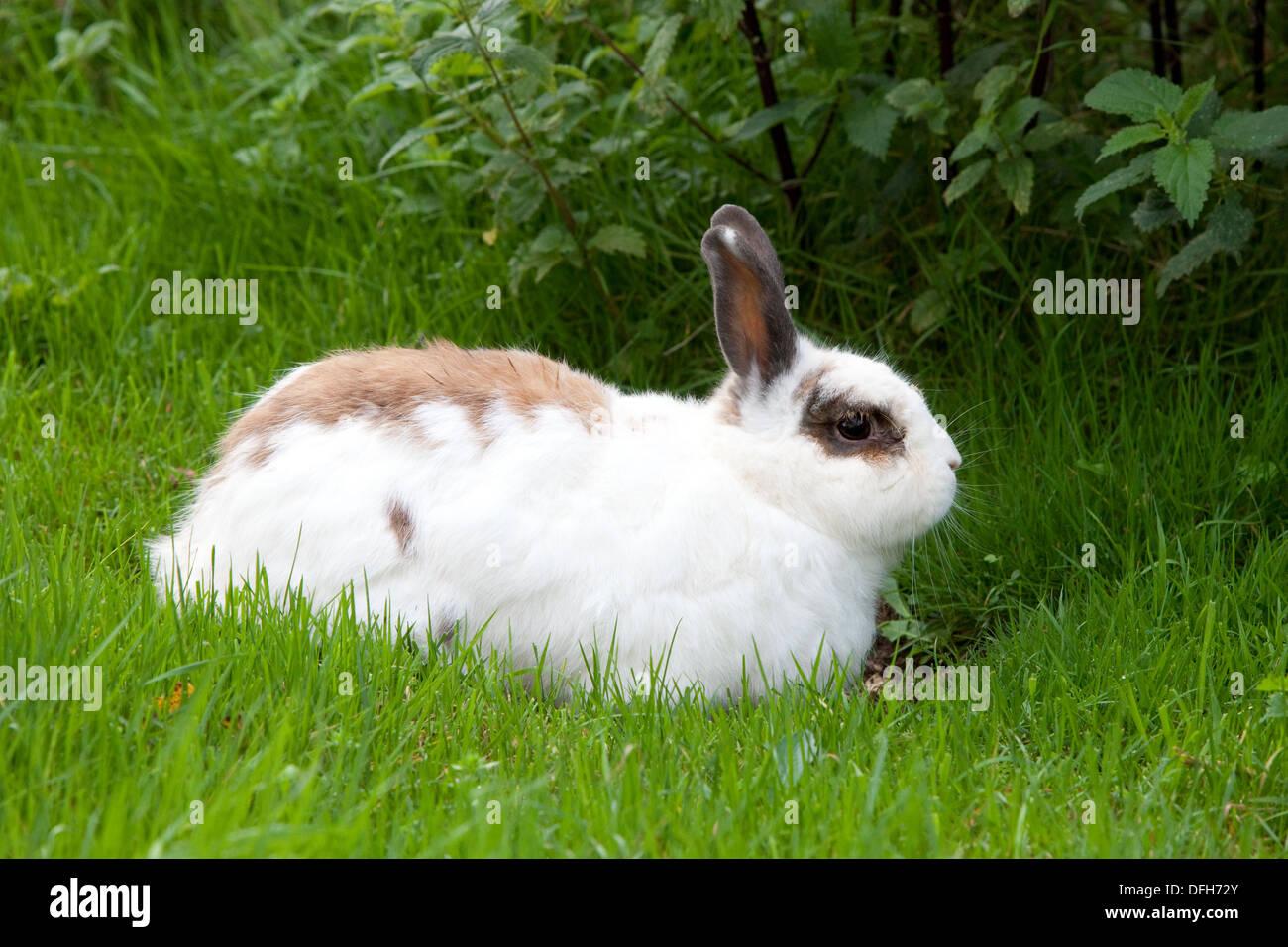 A pet rabbit enjoys the long grass and freedom of a Devon, UK, garden. - Stock Image
