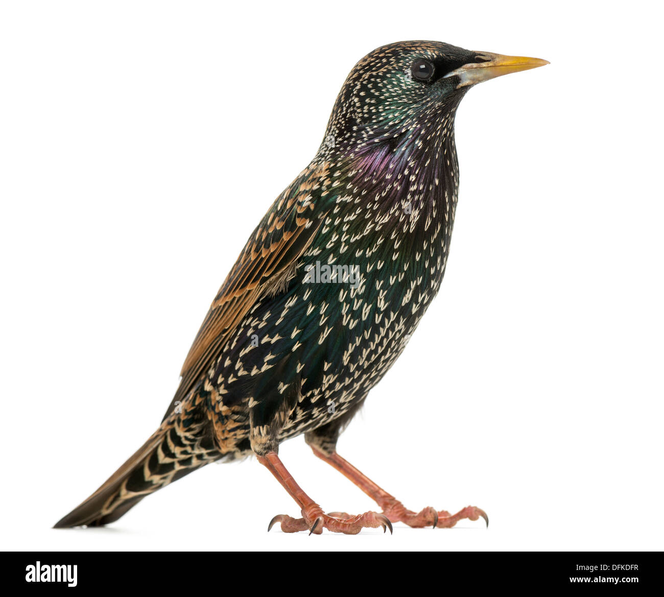 Side view of a Common Starling, Sturnus vulgaris, against white background Stock Photo