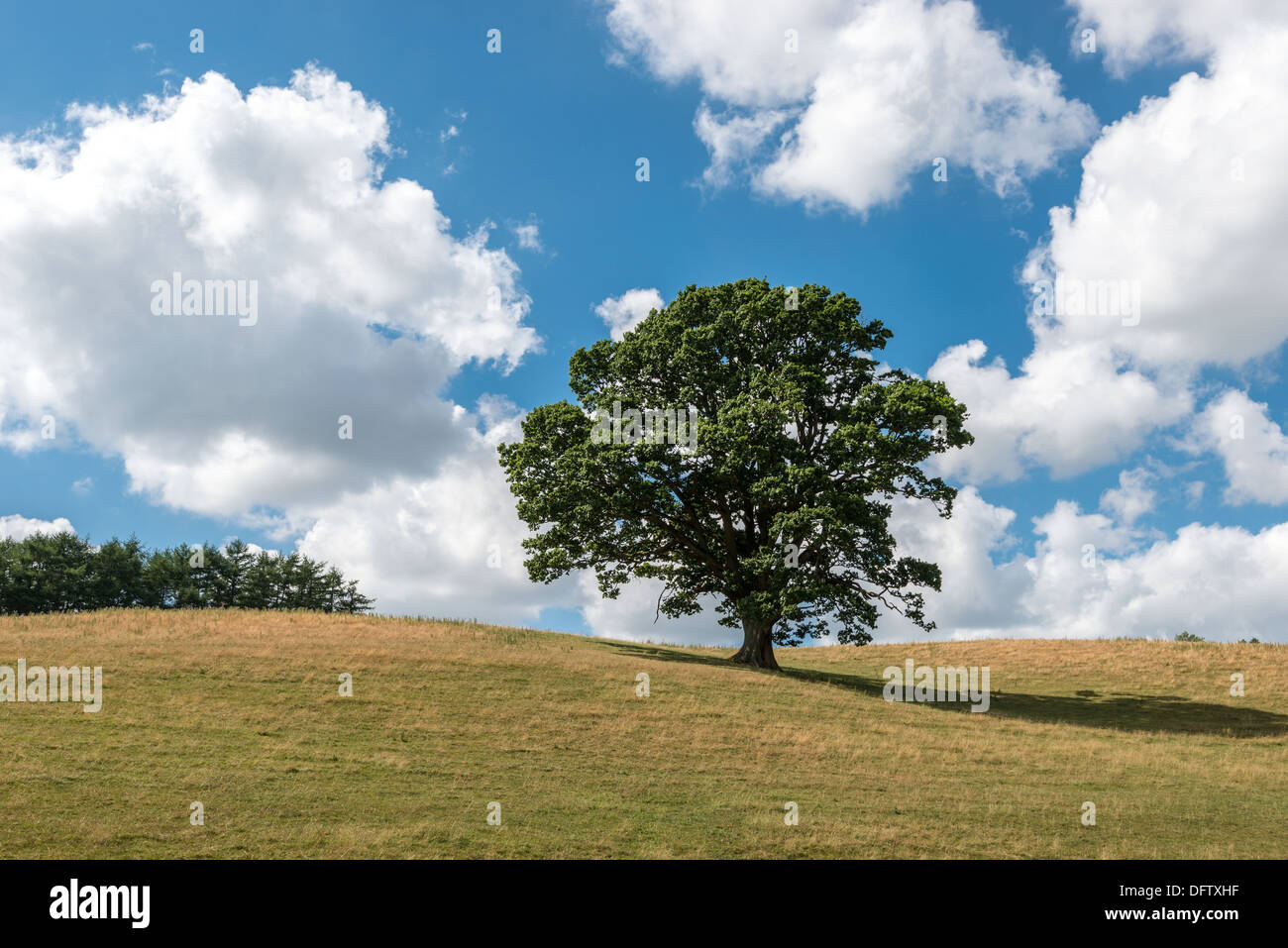 OAK TREE IN HIGH SUMMER ON GRASS COVERED HILLS WITH BLUE SKY AND WHITE CLOUDS. HEDGE AT TOP OF HILL. UK PORTRAIT - Stock Image