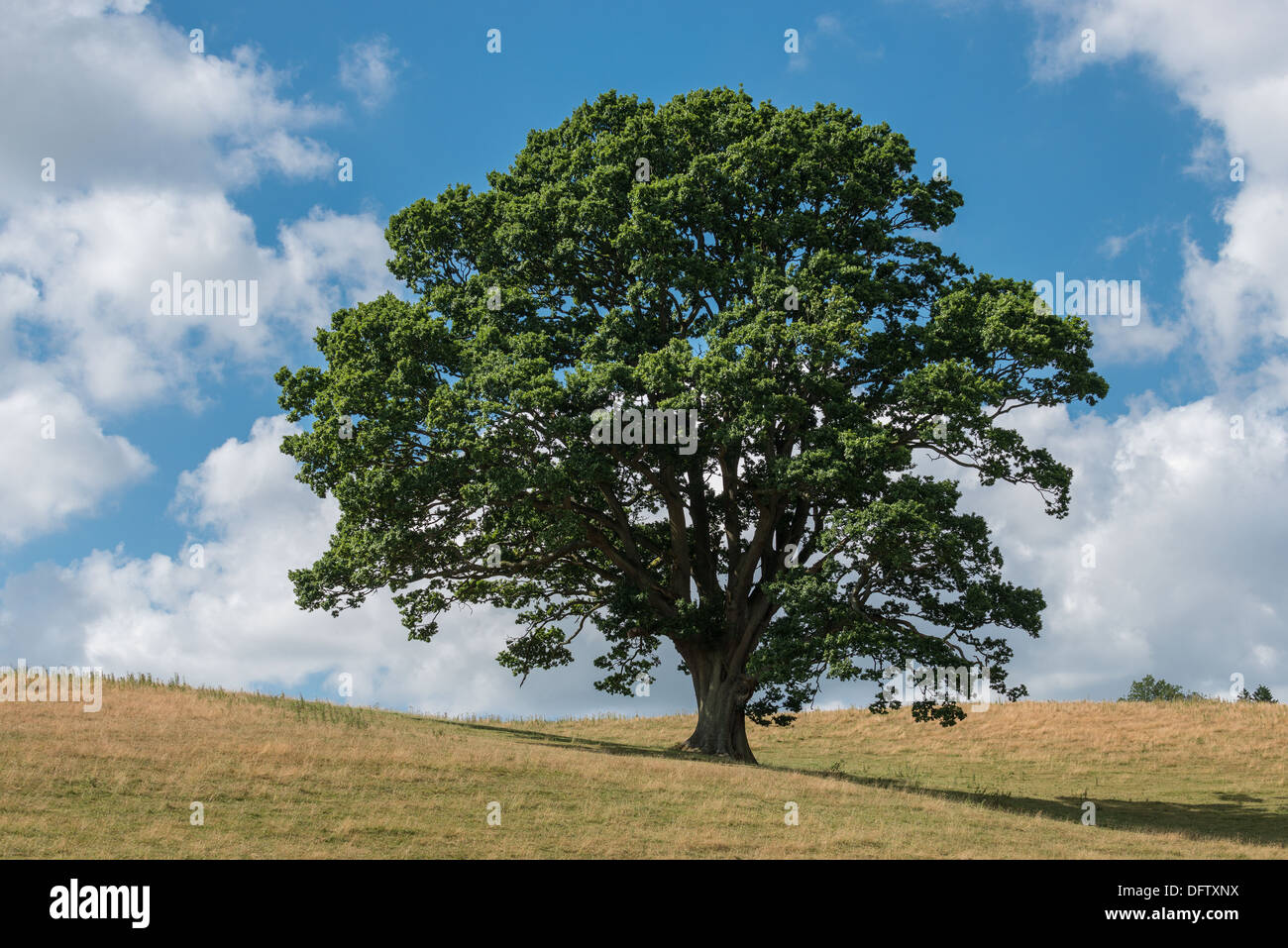 OAK TREE IN HIGH SUMMER ON GRASS COVERED HILLS WITH BLUE SKY AND WHITE CLOUDS UK - Stock Image