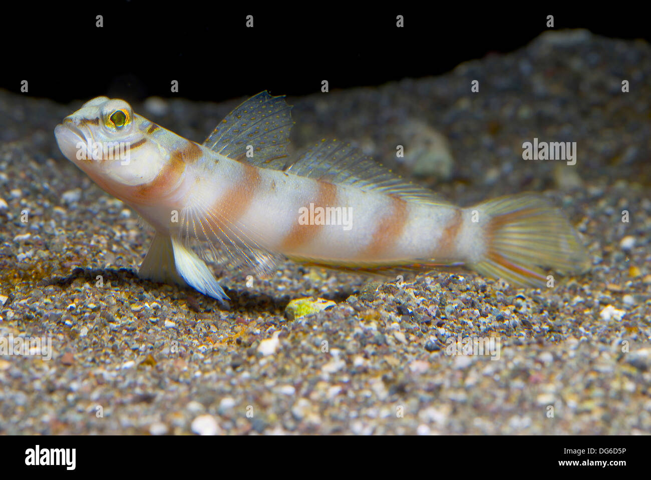 diagonal shrimp goby, amblyeleotris diagonalis - Stock Image