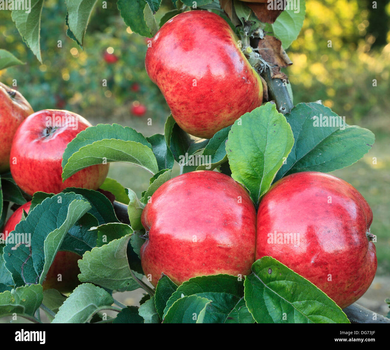 Apple 'Jolly Miller', malus domestica, apples variety varieties growing on tree Norfolk England - Stock Image