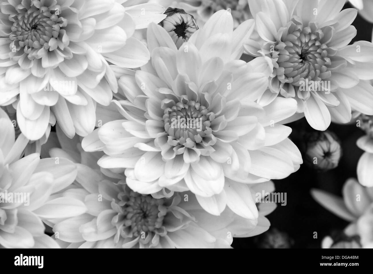 Black and white mums flowers beautiful floral background stock black and white mums flowers beautiful floral background mightylinksfo