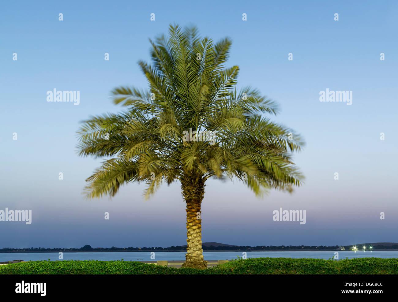 Date palm tree, Adu Dhabi, United Arab Emirates - Stock Image