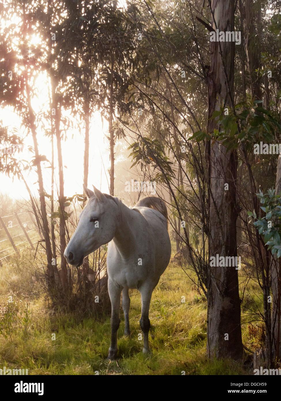 Criollo horse in forest, Uruguay - Stock Image