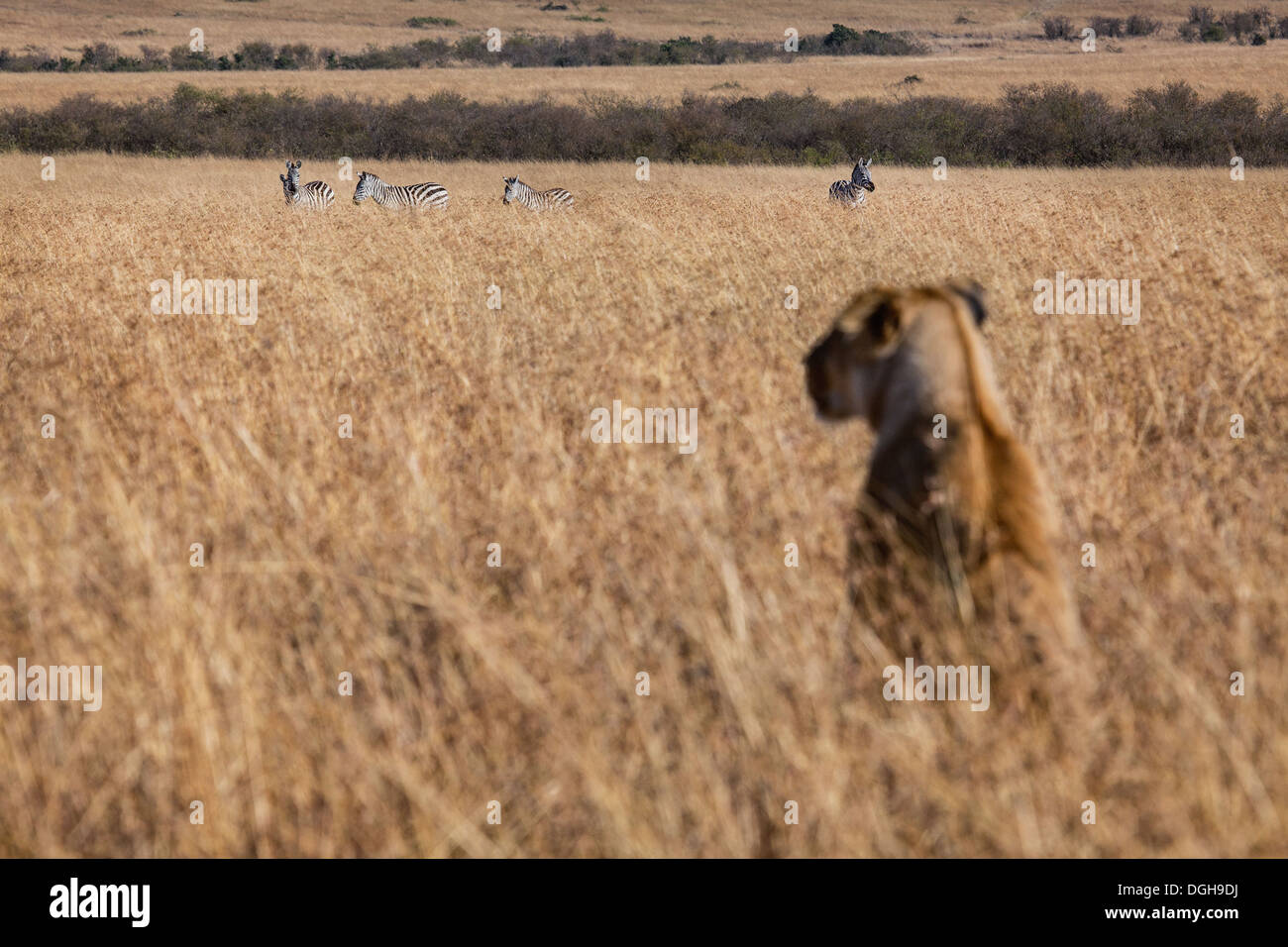 lioness watching zebras in the Masai Mara - Stock Image