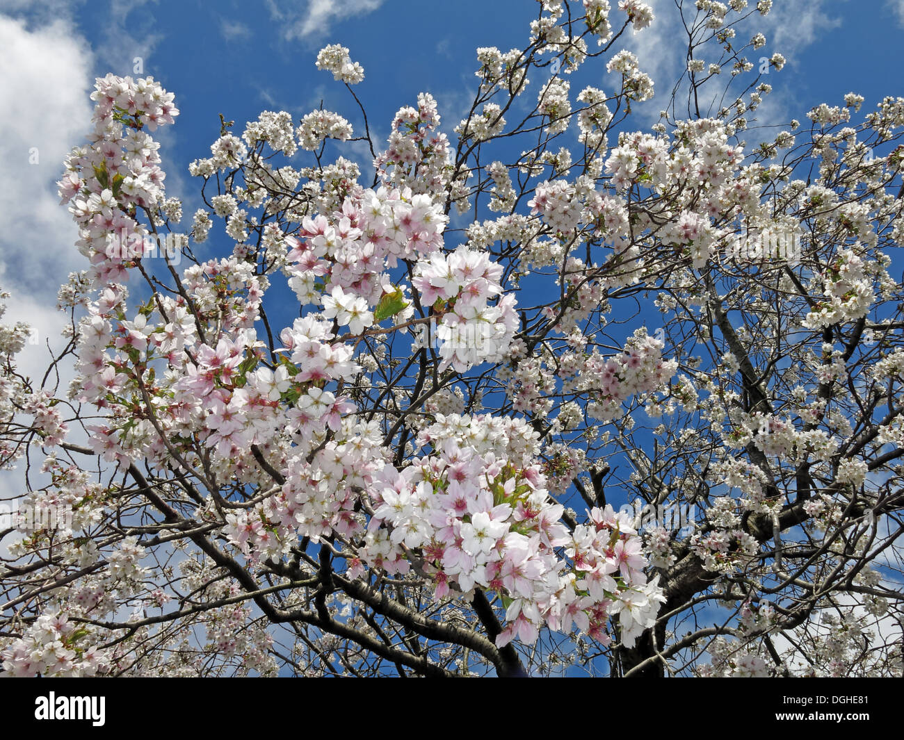 season,seasons,4seasons,four,skies,UK,Blossom,flowers,against,a,deep,blue,sky,England,United,Kingdom,western,hemisphere,life,springs,forth,love,good,to,be,alive,bloom,blooming,sprung,has,fruit,tree,trees,Sakura,Japan,Japanese,blosoms,almond,Gotonysmith,pollen,to,pollinators,insect,insects,bees,cross,polination,initiate,cross-pollination,necessary,to,reproduce,by,producing,fruit,Buy Pictures of,Buy Images Of