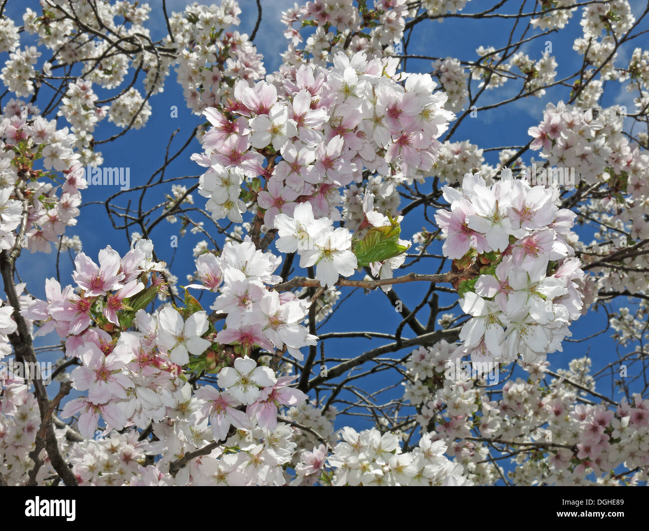 season,seasons,4seasons,four,skies,UK,Blossom,flowers,against,a,deep,blue,sky,England,United,Kingdom,western,hemisphere,life,springs,forth,love,good,to,be,alive,bloom,blooming,sprung,has,fruit,tree,trees,Sakura,Japan,Japanese,blosoms,almond,Gotonysmith,pollen,to,pollinators,insect,insects,bees,cross,polination,initiate,cross-pollination,necessary,to,reproduce,by,producing,fruit