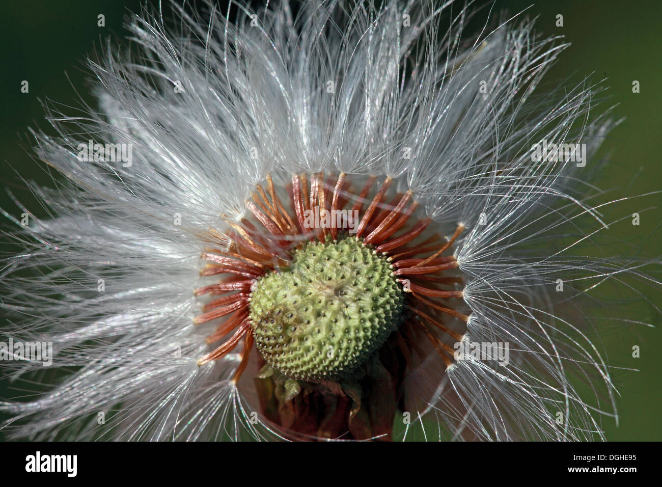 GoTonySmith,@HotpixUK,Tony,Smith,UK,GB,Great,Britain,United,Kingdom,English,British,England,problem,with,problem with,issue with,Buy Pictures of,Buy Images Of,Images of,Stock Images,Tony Smith,United Kingdom,Great Britain,British Isles,flower,of,Taraxacum,flowers,dandelions,wildflowers,wild,wildflower,seed,seeds,ruderal,ruderals,flowering