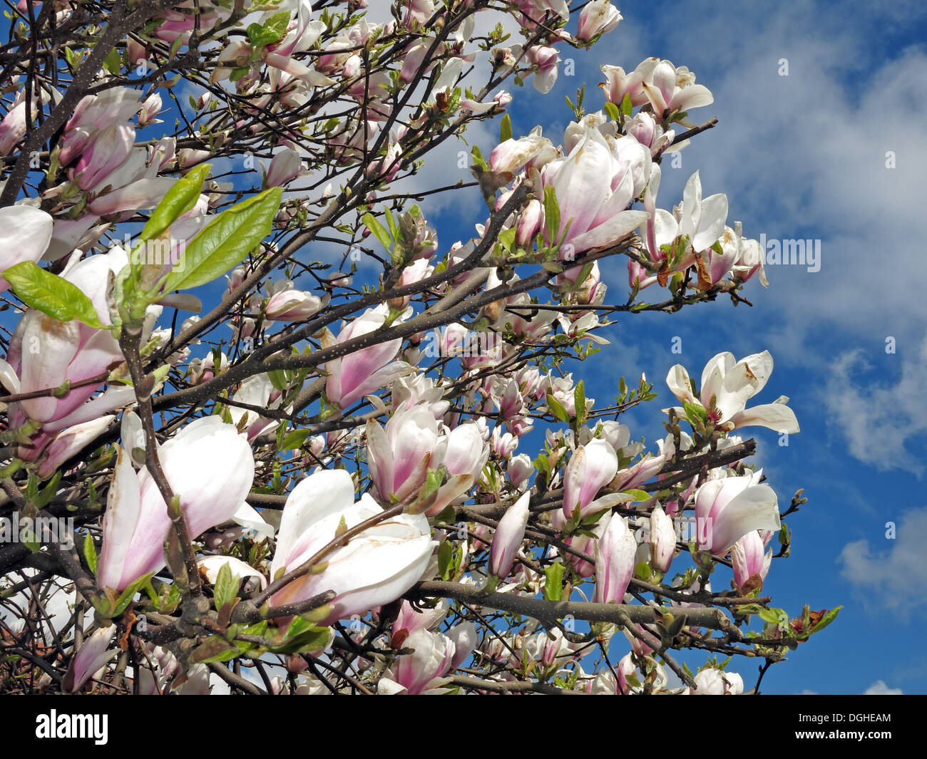 Europe,white,flower,flowers,sky,blue,warm,new,growth,flowering,plant,species,in,the,subfamily,Magnolioideae,of,the,family,Magnoliaceae.,It,is,named,after,French,botanist,Pierre,Magnol,Annona,dodecapetala,Society,Gotonysmith,Buy Pictures of,Buy Images Of