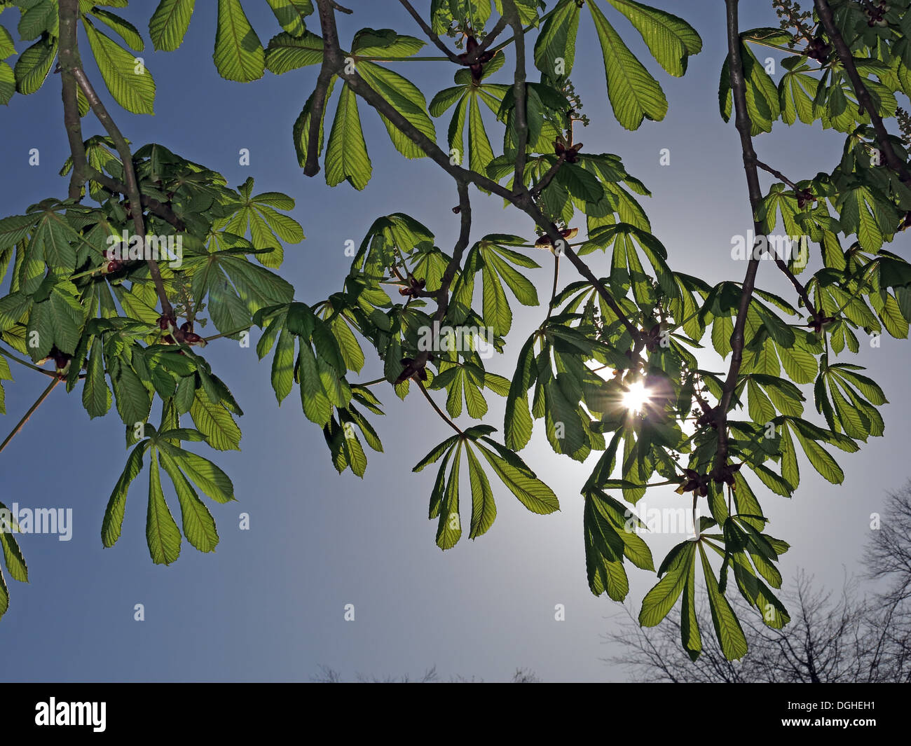 in,spring,springtime,light,behind,young,fresh,life,revive,life,plant,tree,Horse Chestnut,with sun behind,Aesculus hippocastanum,Coming alive,GoTonySmith,@HotpixUK,Buy Pictures of,Buy Images Of,Images of,Stock Images