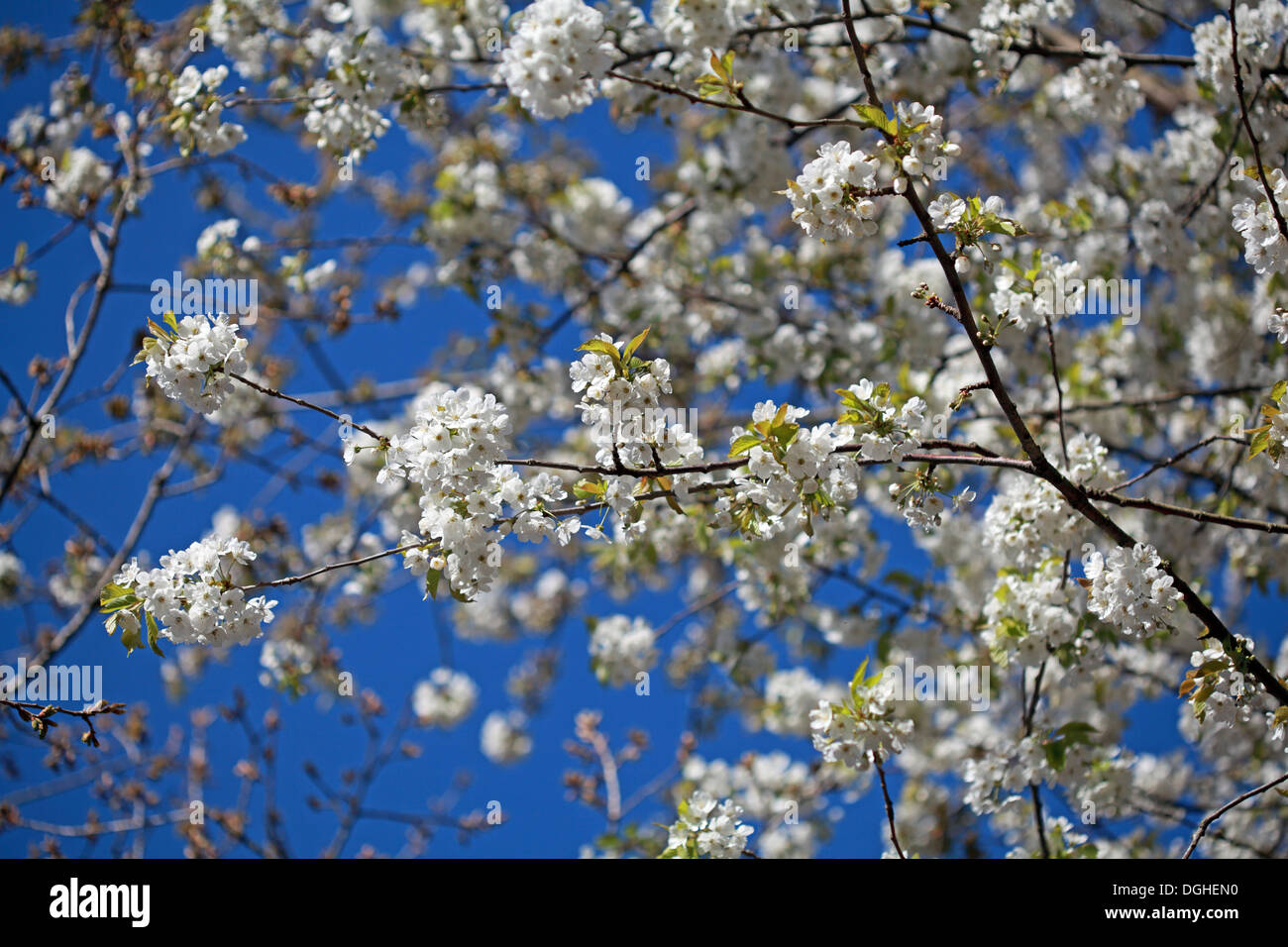 England,flower,plant,sun,sunny,sunshine,summer,shallow,focus,DOF,depth,of,field,D.O.F.,spring,UK,nature,natural,attractive,blossom,darling,buds,bud,first,garden,gardens,gardening,advice,gardeners,question,time,GQT,radio4,radio,4,four,sweet,cherry,tree,Prunus,avium,courtyards,groves of crab apples,gotonysmith,Prunusavium,Kyoto,sakura,fruit,shrub,tree,plant,shrub,tree,trees,tall,blue,sky,cherry,plum,Prunus,cerasifera,Mirabelle,plums,super,shots,of,life,eco,newlife,redemption,revive,revival,Buy Pictures of,Buy Images Of