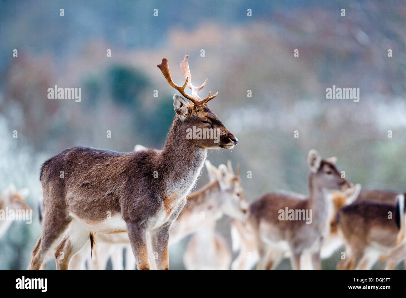 A herd of fallow deer in the Somerset countryside. - Stock Image