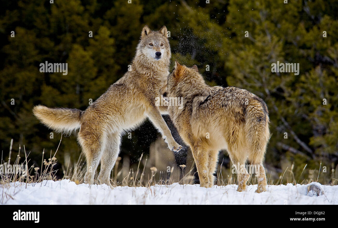 Canis Lupus—The Grey Wolves of Then and Now
