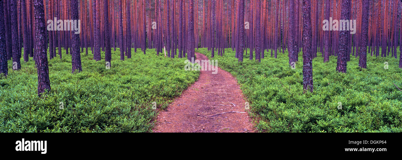 A heavily wooded forest in southern Norway. - Stock Image