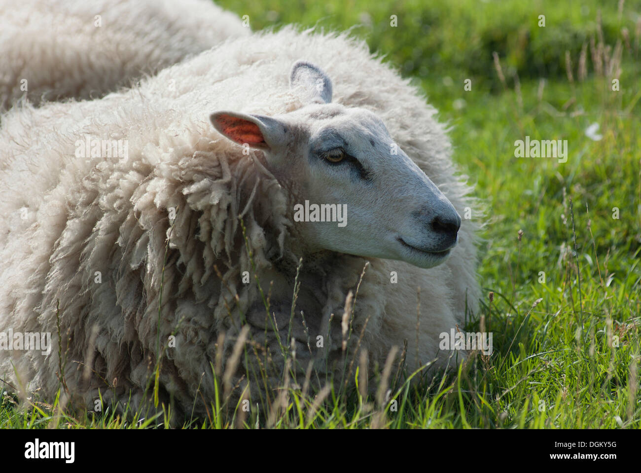 Sheep resting on a meadow, Atlantic Coast, Normandy, France, Europe - Stock Image
