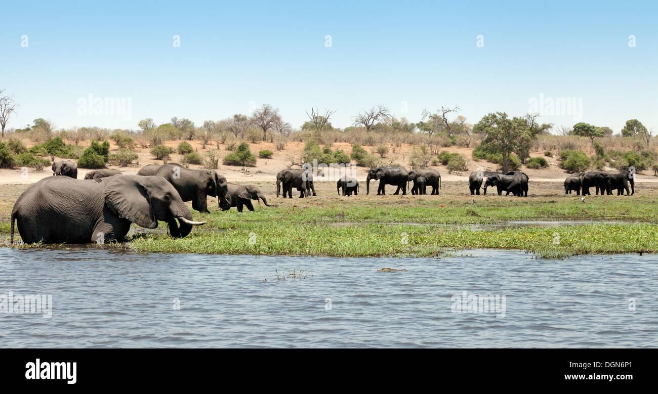 africa-panorama-african-elephants-at-chobe-national-park-botswana-DGN6P1.jpg