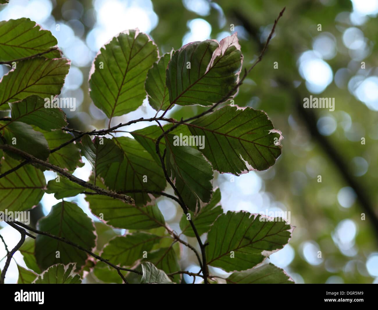Tricolor beech (Fagus sylvatica \
