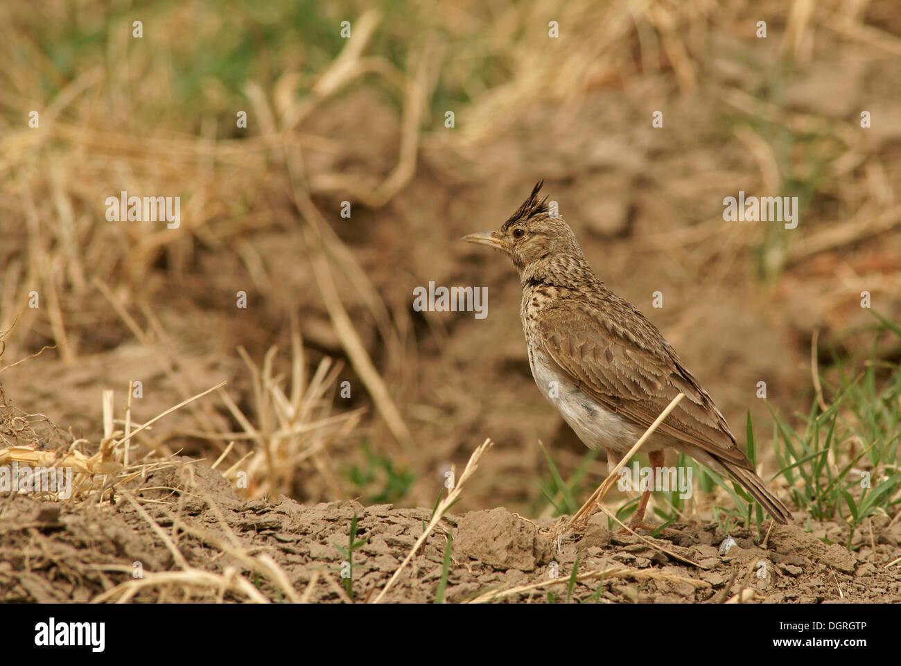 Skylark (Alauda arvensis), Bulgaria, Europe - Stock Image
