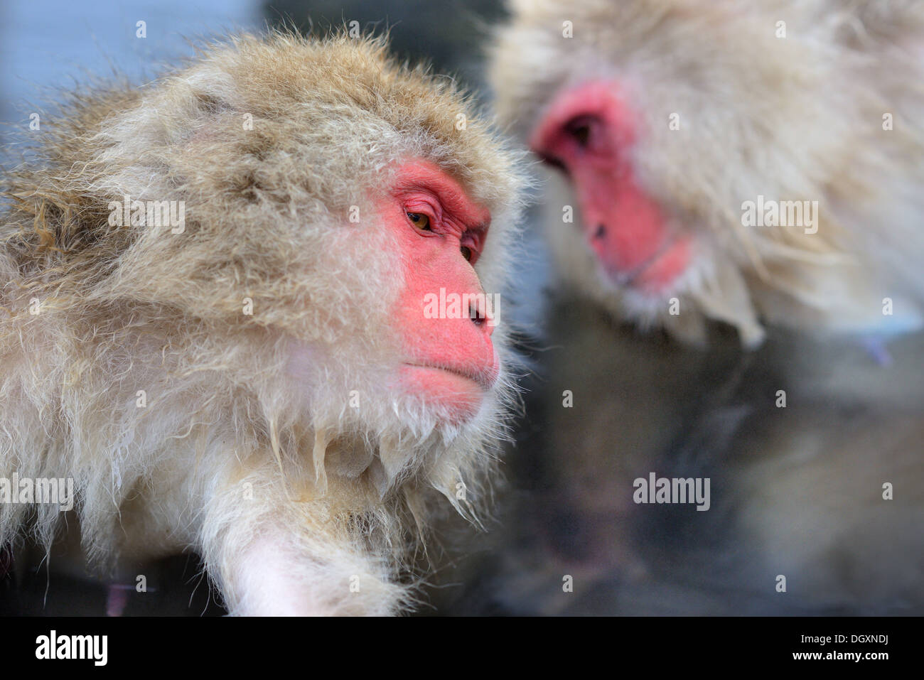 Macaques at Jigokudani Monkey Park in Nagano, Japan. - Stock Image
