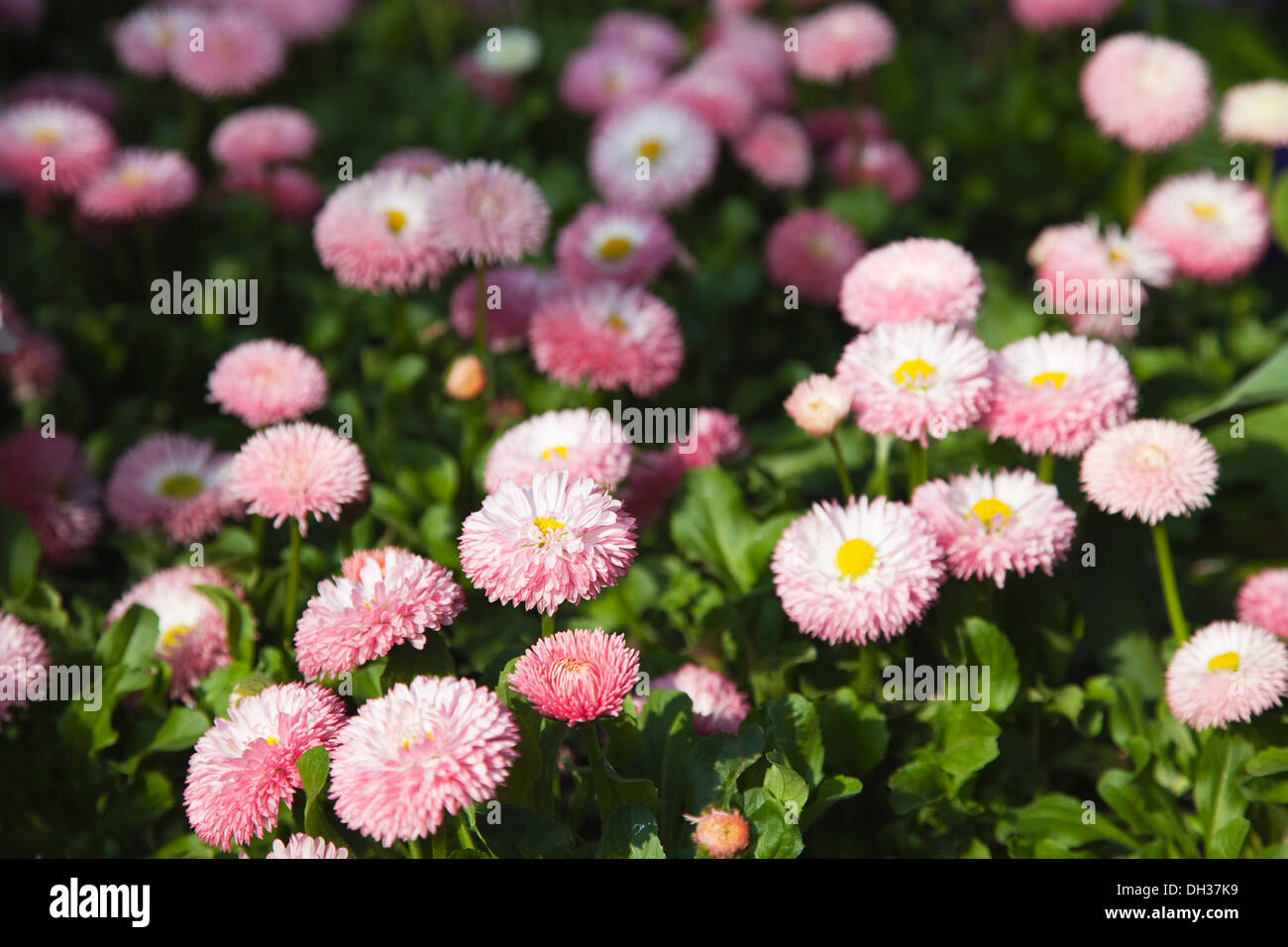 Daisy bellis perennis tasso series pink double flower heads of daisy bellis perennis tasso series pink double flower heads of perennial daisy carpeting area in public garden izmirmasajfo Image collections