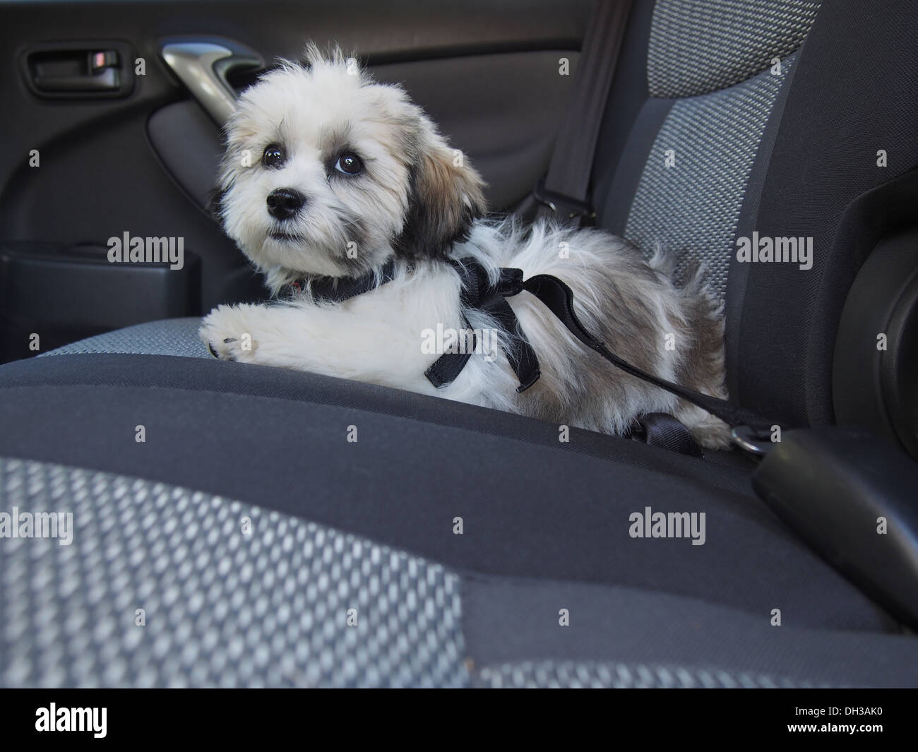 Car Harness Dog >> Teddy Bear puppy (a/k/a Zuchon, mix of Shih-Tzu and Bichon Frise Stock Photo: 62154484 - Alamy