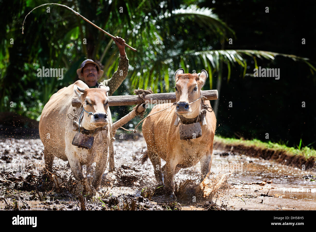 Indonesian farmer plowing a rice field with oxen, Terara, Lombok island, Nusa Tenggara Barat Province, Indonesia - Stock Image