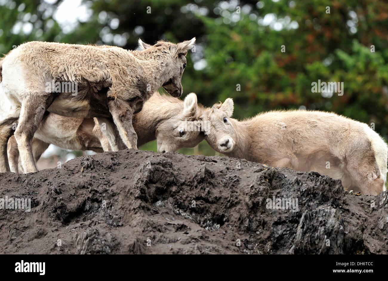 Bighorn sheep kids butting heads - Stock Image