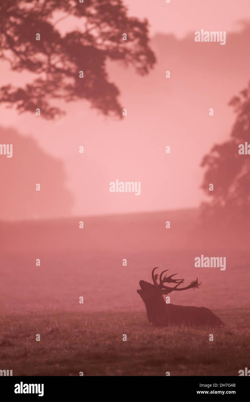 Male Red Deer (Cervus elaphus) stag in early morning light. Studley Royal, North Yorkshire, UK - Stock Image