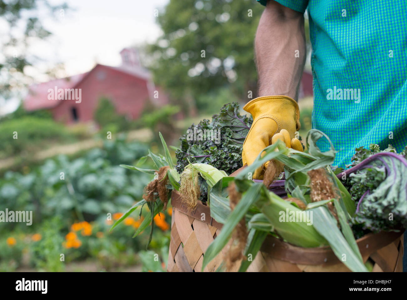 An organic vegetable garden on a farm. A man carrying a basket of freshly harvested corn on the cob. - Stock Image