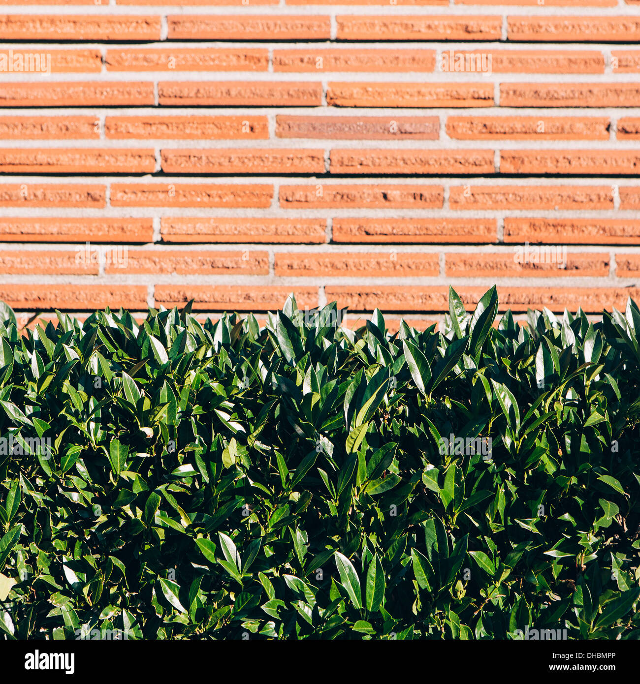 Laurel hedge and brick wall, Seattle - Stock Image