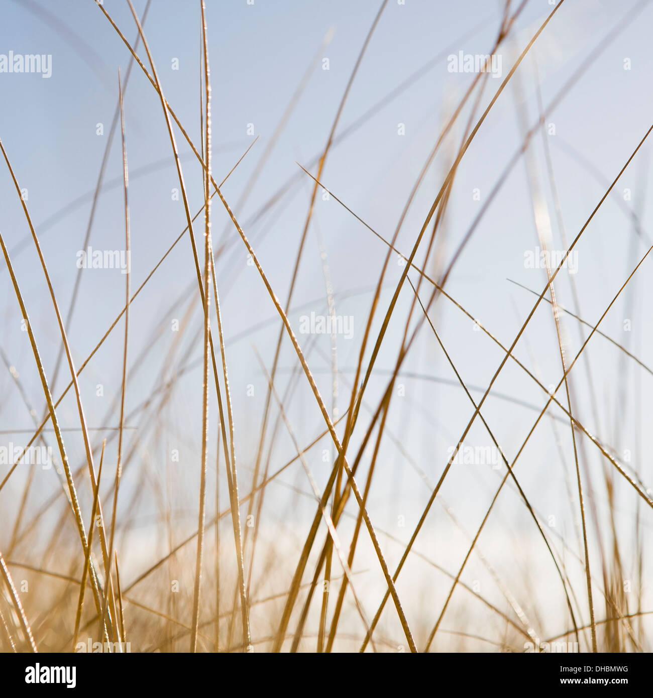 Sea grasses on Long Beach Peninsula, on the coast of Washington state. - Stock Image