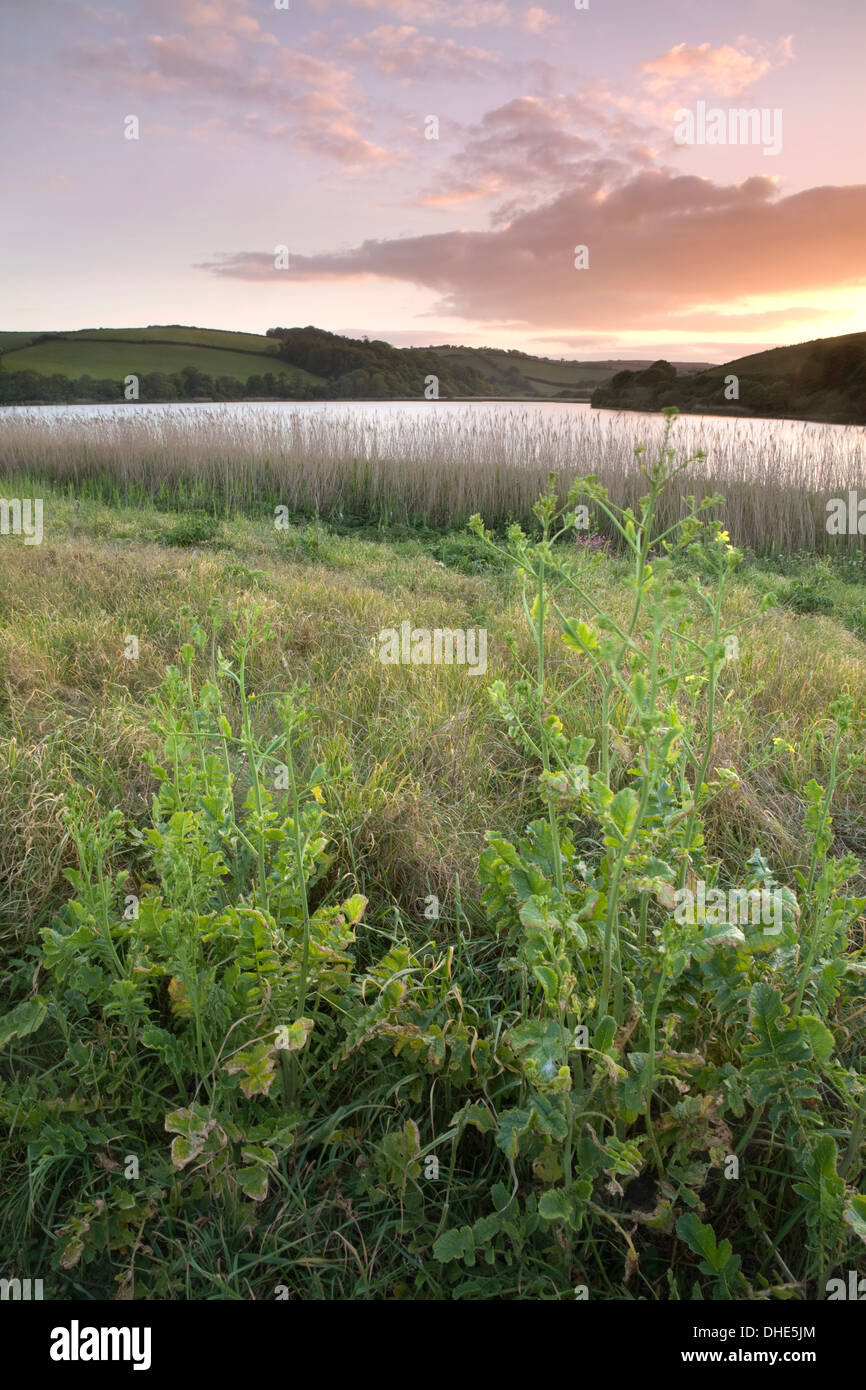 Wild turnip, Brassica rapa, growing on the side of Slapton Ley at sunset. There were thousands of swarming midges. - Stock Image